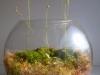 Vabzdžiaėdžių vasara (Drosera spatulata ir Pinguicula ehlersiae)