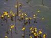 Utricularia australis © Jogaila Mackevičius