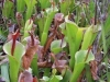carnivorous-plants-and-their-habitats-59