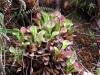 27-h-uncinata-and-h-exappendiculata
