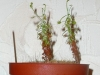drosera-scorpioides-07