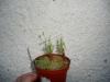 drosera-scorpioides-18