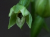 Epipactis albensis