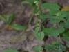 epipactis-albensis-005