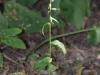 epipactis-albensis-010