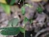 epipactis-albensis-016