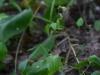epipactis-albensis-017