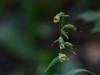 epipactis-albensis-021