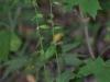 epipactis-albensis-025