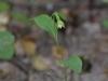 epipactis-albensis-030