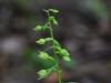 epipactis-albensis-036