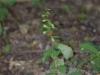 epipactis-albensis-040