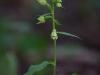 epipactis-albensis-047