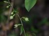 epipactis-albensis-061