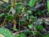 epipactis-albensis-063