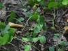 epipactis-albensis-065