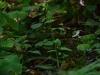 epipactis-albensis-070