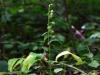 epipactis-albensis-072