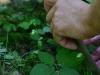 epipactis-albensis-084