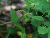 epipactis-albensis-085