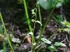 epipactis-albensis-086
