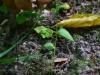 epipactis-albensis-088