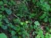 epipactis-albensis-089