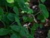 epipactis-albensis-090