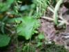 epipactis-albensis-092