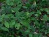 epipactis-albensis-101
