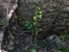 epipactis-albensis-105