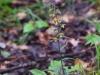 epipactis-purpurata-001