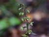 epipactis-purpurata-002