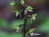 epipactis-purpurata-004