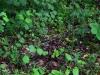 epipactis-purpurata-005