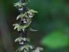 epipactis-purpurata-008