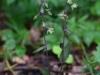 epipactis-purpurata-015