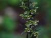 epipactis-purpurata-017