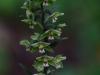 epipactis-purpurata-018