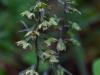 epipactis-purpurata-021