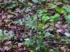 epipactis-purpurata-022