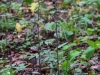 epipactis-purpurata-023