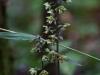 epipactis-purpurata-025