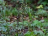 epipactis-purpurata-026