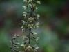 epipactis-purpurata-027