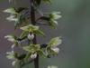 epipactis-purpurata-034