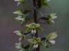 epipactis-purpurata-035