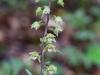 epipactis-purpurata-036