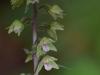 epipactis-purpurata-040