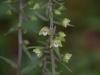 epipactis-purpurata-043